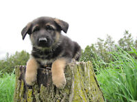 Quality Purebred German Shepherd Puppies