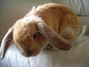 Looking for a Baby Holland Lop