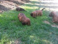 Gorgeous Dachshund Pups Mini/Long Hair-Wait list For Summer 2016