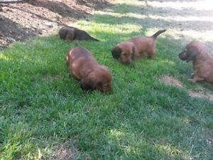Gorgeous Dachshund Pups Mini/Long Hair- Born in June 2016
