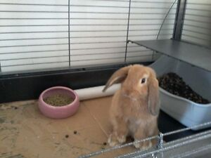 Looking for young female mini-lop bunny