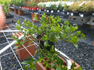 Gardenia Radicans ground cover 15% OFF SALE PLUS *Free Delivery GOLD