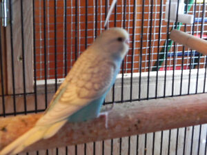MOTHERS DAY GIFT! HAND RAISED BABY BUDGIE BIRDS READY