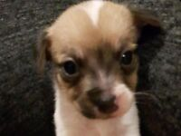 1 Gorgeous Jack Russell Puppy For Sale