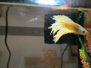 Fancy Beta with 5.5 gallon tank Cambridge Kitchener Area image 1