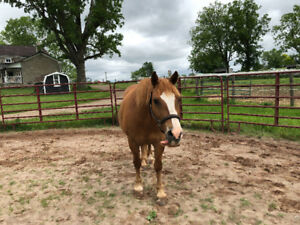 Haflinger x QH looking for intermediate partboarder