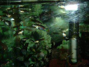 Aquarium et poissons GOUPPY
