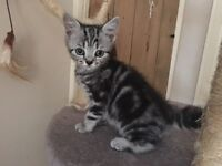 BRITISH SHORTHAIR SILVER TABBY BOY. LAST ONE LEFT!
