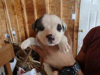 American Bulldog Puppies (NKC registered)
