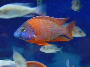 Aulonocara ruby red peacock cichlid