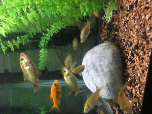 Goldfish | Buy or Sell Fish in Ontario | Kijiji Classifieds