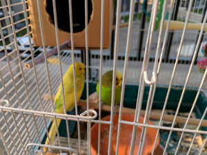 Two budgies with cage, a bag of food and all accessories