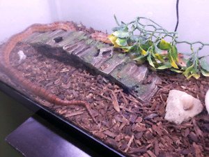 Corn Snake with Terrarium