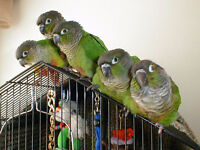 Green cheek conure babies With Cage and food