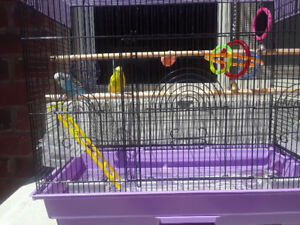 Budgies for SALE!!!