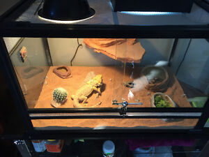 2 Year old Breaded Dragon looking for a new home! Very Friendly!