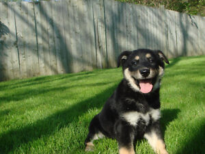 Australian Shepherd X German Shepherd Puppy (Female) $695