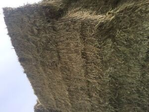 Horse Hay(No Rain,Dust,Weeds,Mold) $100 per bale delivered price Edmonton Edmonton Area image 4