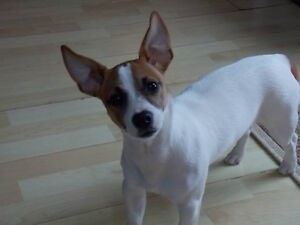 Jack Russell Puppies London Ontario image 5