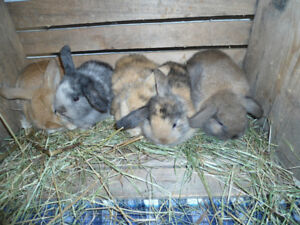 HOLLAND LOP BABY BUNNIES FOR SALE !