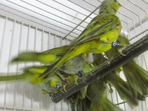 Saffron Finches Young banded for sale