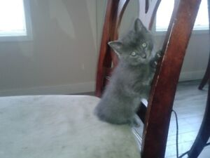 Siamese mix kittens - only 2 grey left
