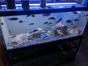 Assorted African cichlids and two types of flowerhorn
