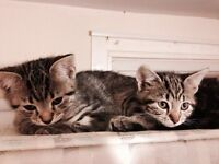 Mainecoon x short haired kittens for sale