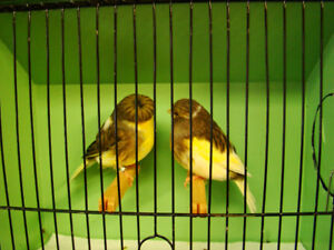 Canaris - Gloster Fancy - Canaries