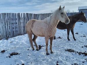 Aqha Quarter Horse Filly