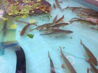 Pond rudd fish for fish tank aquarium