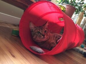ADOPTED!! :)))) Yay!! - Humane Society Kitten for adoption!