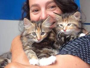 PLENTY OF LOVEABLE KITTENS @ ADOPTION DAY THIS WEEKEND Annandale Leichhardt Area Preview