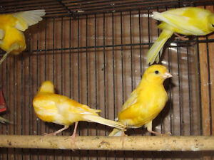 Yellow Canaries. London Ontario image 6