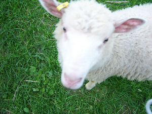 5 lambs (1 male / 4 female) 7 months old