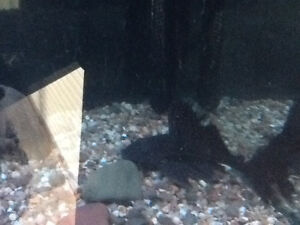 125 gallon fish tank with 4 red belly piranha's - complete Windsor Region Ontario image 2