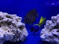 Marine fish, shrimp, Nemo, dory, corals, sps, lps and coral frags for sale