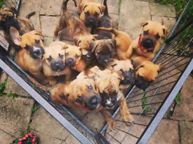 pressa canario puppies (mastiff)