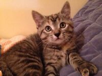 Beautiful Rescue Torbies for Adoption!