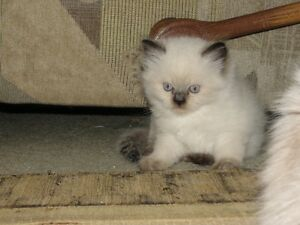 Mother is seal point Himalayan , Father is Blue Lynx Ragdoll