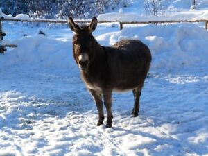 Wanted:mini donkey