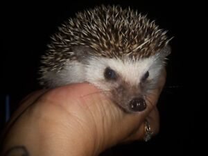 12 Week Old Baby Hedgehogs For Sale - REDUCED PRICE