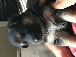 Gorgeous PUREBRED GERMAN SHEPHERD PUPPIES