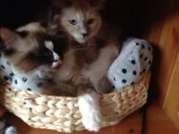 Ragdolls in need of new home