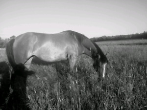 Companion/light riding horse looking for a forever home.