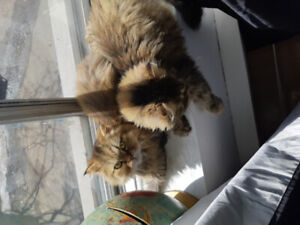 Two cats missing, Persian breed. Names are Valentino and Dior.