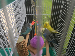 Three beautiful budgies with cage abd accessories