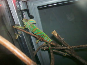 2 y/o veiled chameleon needing to be re-homed