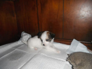 2 ONLY CUTE  CHIHUAHUA PUPPIES LEFT