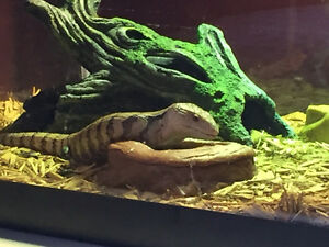 Selling my 5 month old unsexed Blue Tongue Skink